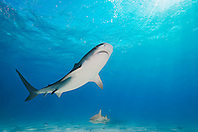 Tiger Shark, Galeocerdo cuvier, and Lemon Sharks, Negaprion brevirostris, West End, Grand Bahama, Atlantic Ocean