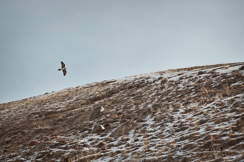 A Golden Eagle..Trekking up to the Little Pamir with yak caravan over the frozen Wakhan river.