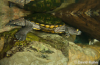 0215-1101  Ouachita Map Turtle Swimming Underwater (Sabine Map Turtle), Graptemys ouachitensis  © David Kuhn/Dwight Kuhn Photography