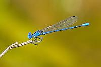 338290007 a wild male aztec dancer argia nahuana perches on a twig  along empire creek las cienegas  natural conservation area pima county arizona united states..GPS: N 31.85278; W -110.67806