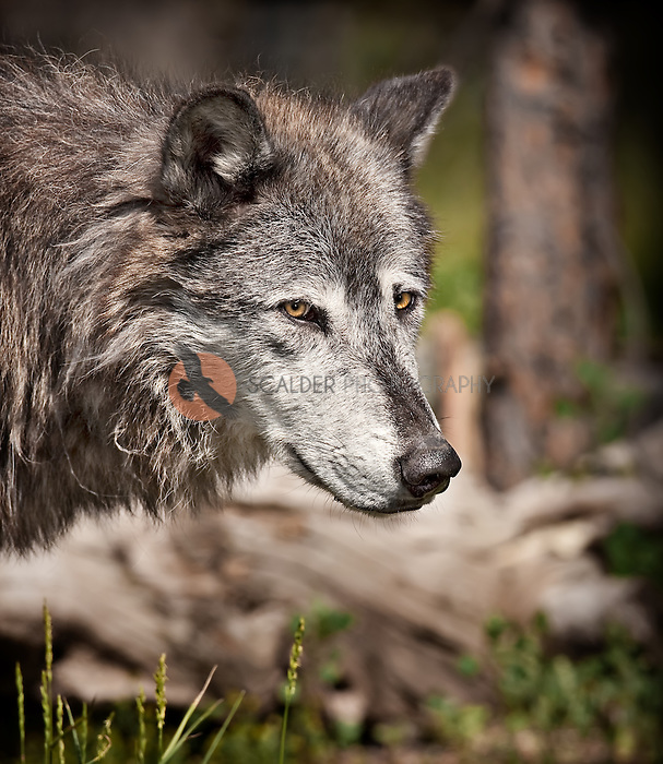 Portrait of a gray wolf, vertical (C)