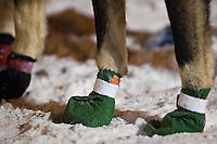 A sled dog wears protective booties during the start of the UP 200 Sled Dog Championship race in downtown Marquette Michigan.