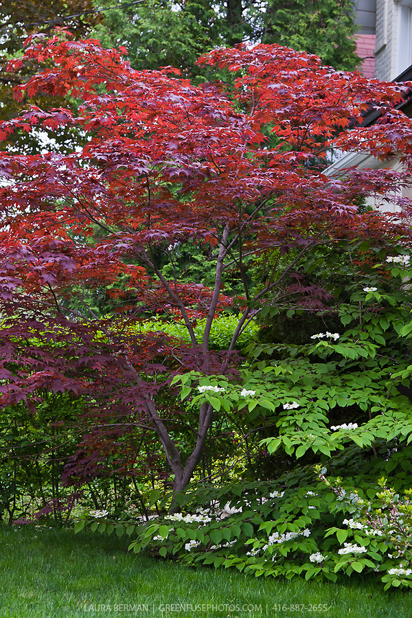 bloodgood japanese maple acer palmatum 39 bloodgood. Black Bedroom Furniture Sets. Home Design Ideas