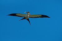 Swallow-tailed Kite (Elanoides forficatus), Corkscrew Swamp Sanctuary, Naples, Florida, US