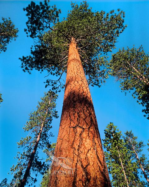 Tree ponderosa pine pinus ponderosa tom pat leeson for Mature pine trees