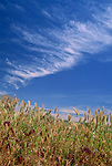Wild grass, blue sky and clouds fill a western landscape on a sunny day.