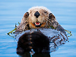 Sea otters are extremely difficult to photograph. Their open water habitat gives them an unrestricted line-of-sight. To get this photograph, I traveled to a calm, protected saltwater slough in Monterey Bay, California. By drifting toward the otter in a raft, I was able to run several rolls of film through my camera without disturbing my subject.
