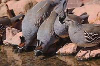 Gambel's Quail, Callipepla gambelii, males and female drinking,Tucson, Arizona, USA, September 2006