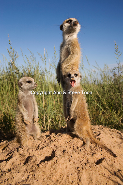 Meerkat with young, Suricatta suricata, Kalahari Meerkat Project, Van Zylsrus, Northern Cape, South Africa