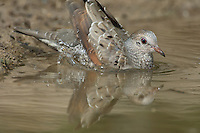 518090036 wild common ground dove adult columbina passerina bathing in a small pond in the rio grande valley in south texas