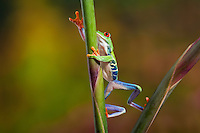 Colorful Red-eyed Tree Frog (Agalychnis callidryas) climbing tropical flower. Native to Central America. Captive.