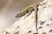 Wall lizard (Podarcis muralis) in coastal quarry. Isle of Purbeck, Dorset, UK.