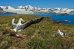 On a tiny island near the coast of South Georgia Island, a courting male albatross bonds with its lifelong mate. The wandering albatross, with an eleven-foot wingspan, is clearly the king of ocean birds, but overfishing and destructive longline nets threaten its survival in southern oceans. Some nets stretch up to sixty miles and snare fish and birds indiscriminately.