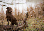 Chessapeake Bay Retriever posed on a log at waters edge Shopping cart has 3 Tabs:<br />