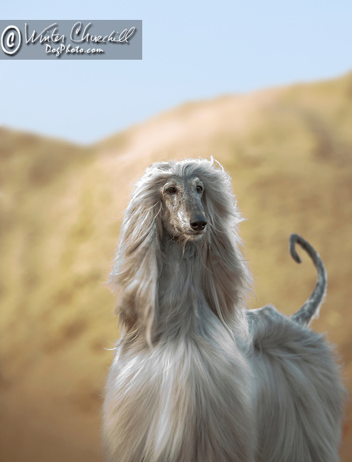Afghan Hound, a desert dog in a Regal pose <br /> <br /> Shopping cart has 3 Tabs: <br /> <br /> 1) Rights-Managed downloads for Commercial Use<br /> <br /> 2) Print sizes from wallet to 20x30<br /> <br /> 3) Merchandise items like T-shirts and refrigerator magnets