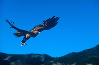 5210900037 a captive golden eagle aquila chrysaetos takes flight in central colorado this raptor is a falconers bird