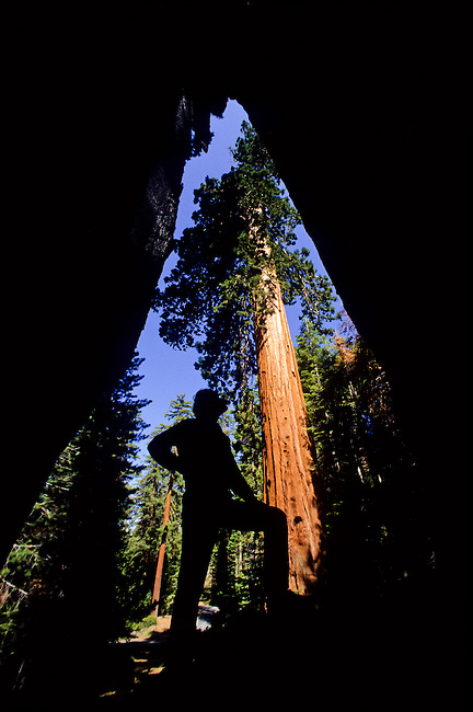 Man inside a burn hole of a sequoia tree in Giant Grove, Yosemite National Park, California, USA