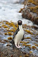 Rockhopper penguin. New Island, Falkland Islands, United Kingdom