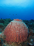Orchid Island, Taiwan -- Barrel sponge on a reef.