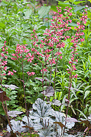 Heuchera 'Rave On' in pink red bloom, prolific flowers