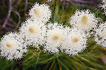 blooming beargrass in montana
