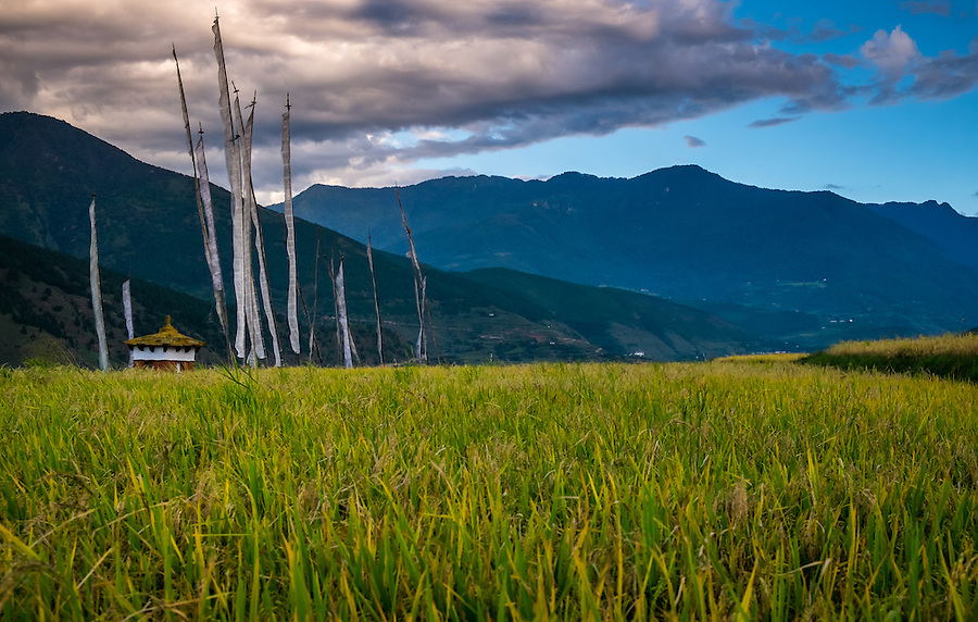LOBESA, BHUTAN - CIRCA OCTOBER 2014: Rice fields around the village of Lobesa, Chimi Lhakhang close to the temple of Divine Madman