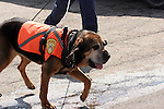 A bloodhound search and rescue dog of the Illinois and Wisconsin Search and Rescue Dogs Organization greifenhagen