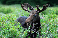 Moose (Alces alces), Bighorn National Forest, near Sheridan, Wyoming, USA.