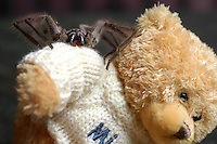 An image of a Huntsman spider sitting on a teddy bear in Sydney by photographer James Horan
