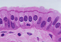 Ciliated columnar epithelium section. LM X360