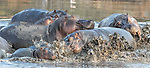 Hippopotamus (Hippopotamus amphibius), Katavi National Park, Tanzania