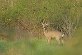 Roe Deer (Capreolus capreolus), Italy