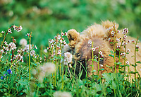 Grizzly bear peeks through the blossoms of  bearflowers, on the summer tundra, Denali National Park, Alaska
