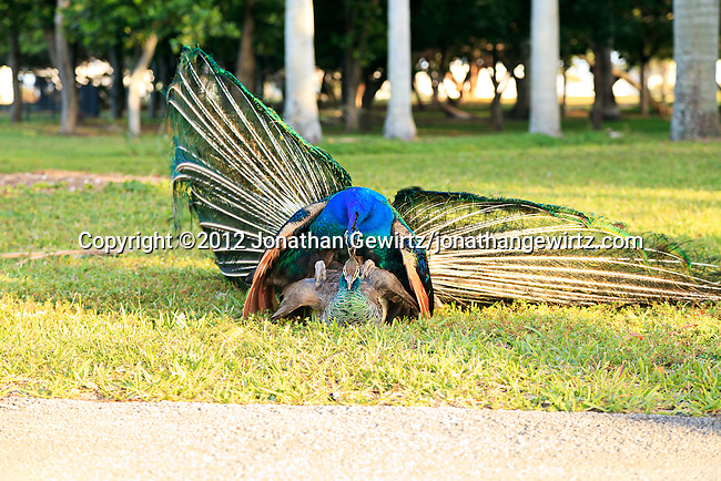 A peacock and peahen (Pavo cristatus) mating at Crandon Park near Miami, Florida.