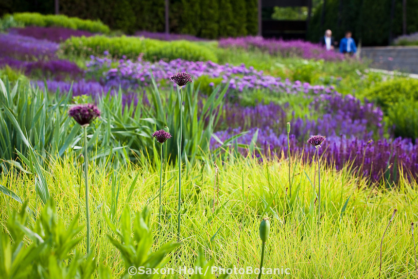 Ornamental onions (Allium) in planting tapestry designed by Piet Oudolf of meadow sages, moor grass, spiderwort perennials in Lurie Garden at Millenium Park, Chicago
