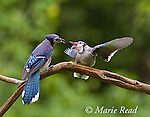 Blue Jay (Cyanocitta cristata) fledgling begging for food from adult, New York, USA