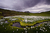 Cotton grass and stream in north Iceland