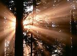 Sun rays through trees, Redwood National Park, California