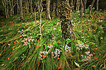 Late summer beech forest and Whorled wood aster (Aster acuminatus), Roan Highlands