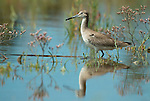Willet, Catoptrophorus semipalmatus, Juvenile, wading in waters edge, reflection. .USA....