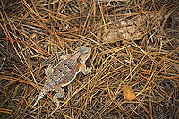 Greater Short-horned Lizard, Phrynosoma hernandesi, in ponderosa pine forest, Fay Canyon area of Coconino National Forest, Flagstaff, Arizona, AGPix_1878
