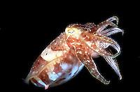 Cuttle Fish Sepia