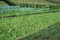 Vegetables growing on an organic farm.