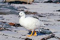 Male Kelp Goose, Sea Lion Island, Falkland Islands
