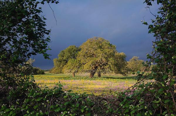 Live Oak (Quercus virginiana) Squaw Weed (Senecio ampullaceus) and Pointed Phlox (Phlox cuspidata), Stockdale, Wilson County, Texas, USA
