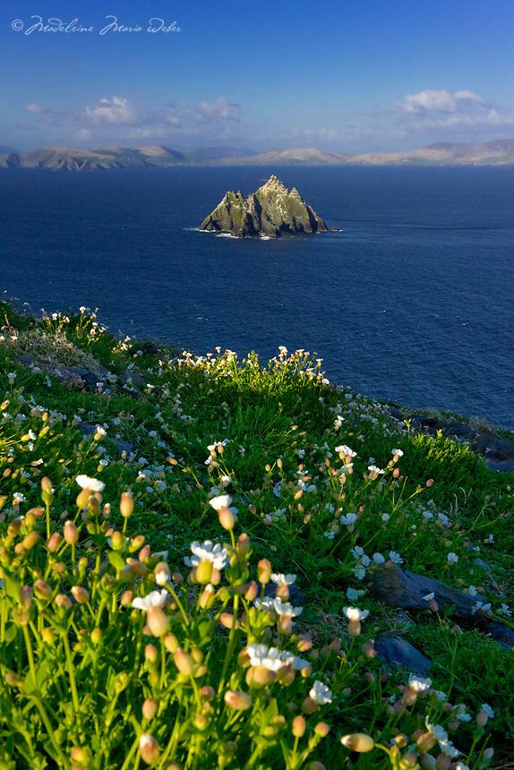 Sea Campions on Skellig Michael, County Kerry, Ireland