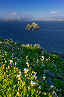 Sea Campions on Skellig Michael, County Kerry, Ireland