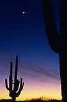 Silhouetted saguaro cactus sunset at dusk with crescent moon near Buckeye, Arizona State USA