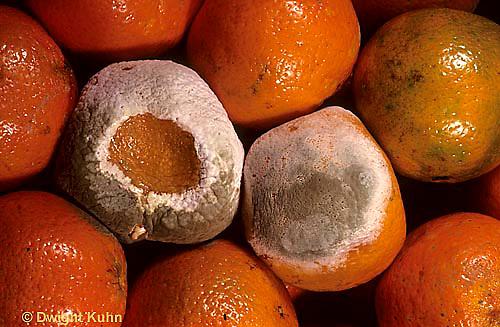 DC21-006a  Penicillin Mold - on orange