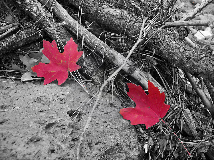 Fall leaves with astonishing natural red and a black and white background.